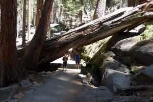 Sequoi del parco nazionale in California