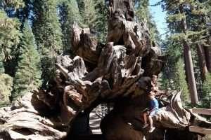 Sequoia caduta in California