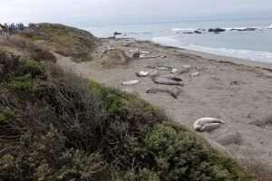 Leoni marini sulla Highway 101 California