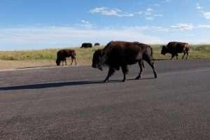 Custer State Park bisonti in strada
