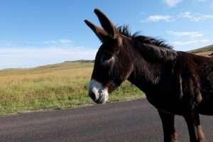 Custer State Park Begging Burros