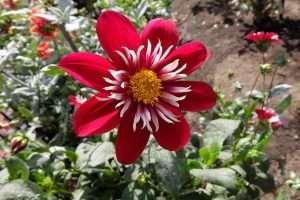 San Francisco Golden Gate Park fiori rossi