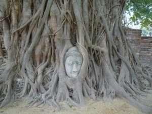 ayutthaya wat phra mahathat testa buddha nel ficus