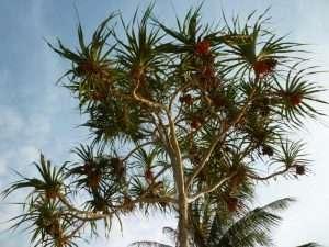 pandano albero tropicale