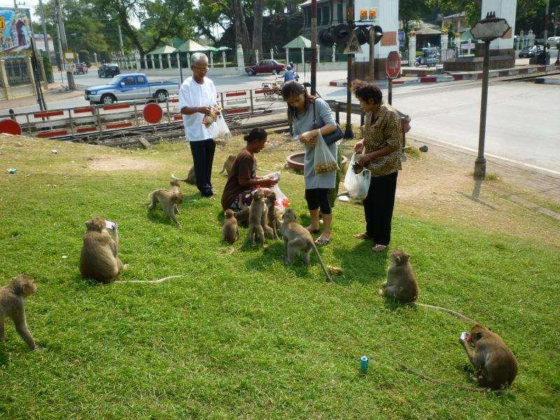 lopburi scimmie in attesa