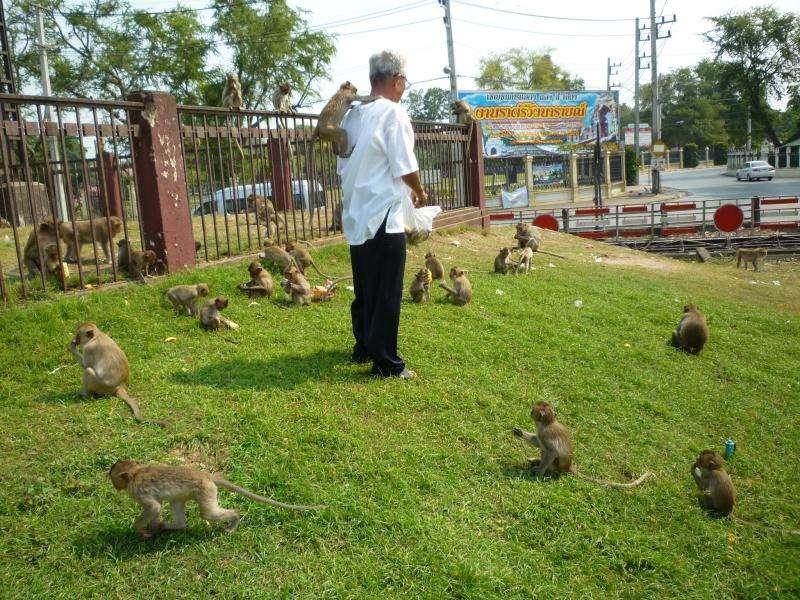 lopburi scimmie affamate