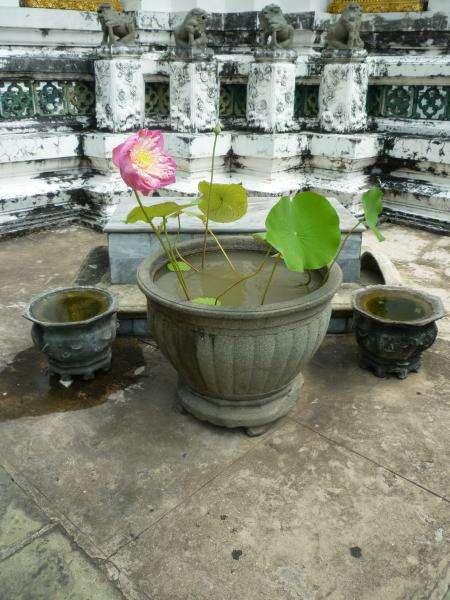 wat pho fiori di loto