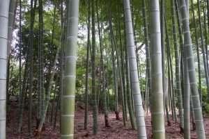 Bambu' al giardino imperiale di Tokyo