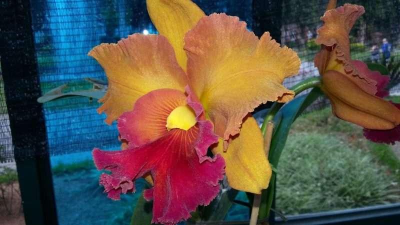 Orchidea a Petropolis