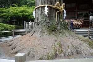 Criptomeria millenaria monte Fuji