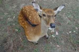 Cervi a Nara