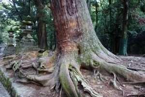 Criptomeria in un tempio a Nara