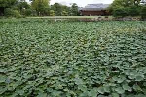 Ninfee al Shosei-en giardino di Kyoto