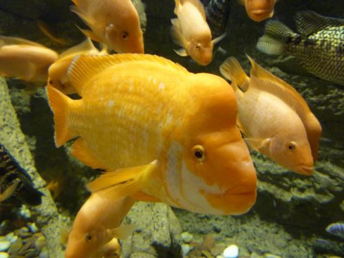 Pescei arancioni all'Acquario del Dubai Mall