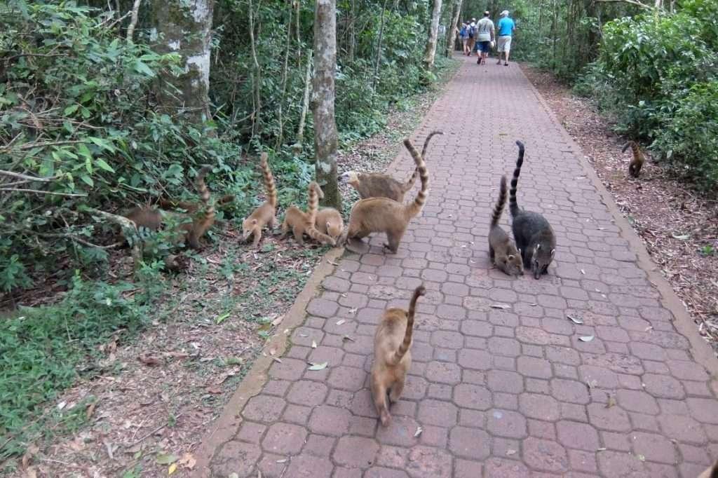 Coati nel parco di Iguazù