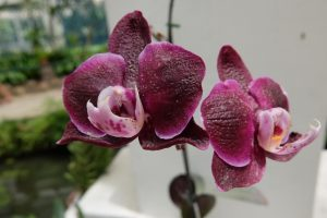 Orchidea a rio