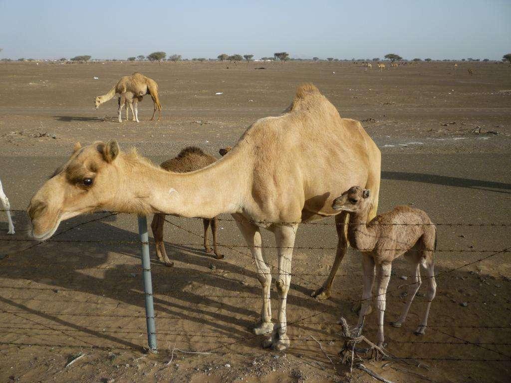 cammelli in libertà