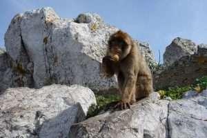 Bertuccia a Gibilterra
