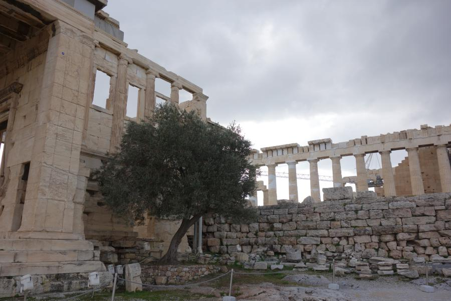 Ulivo del recinto sacro di Atene