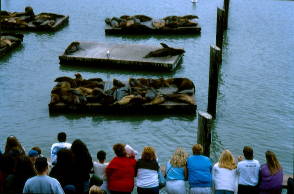 Leoni marini al Pier 39