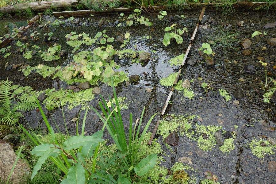 Wasabi coltivazione in Giappone