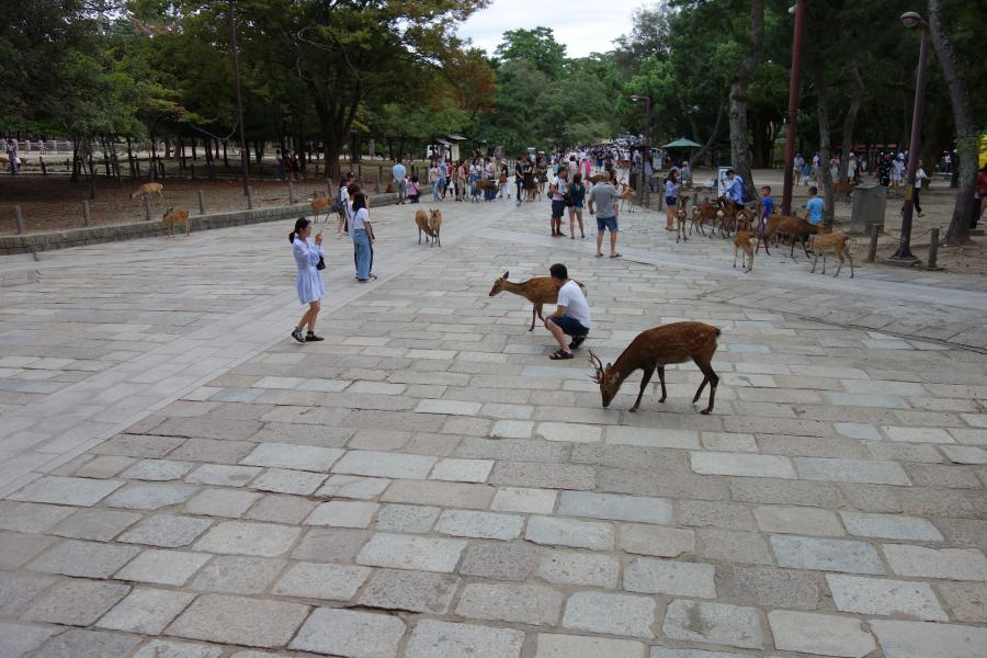 Nara i cervi nel parco