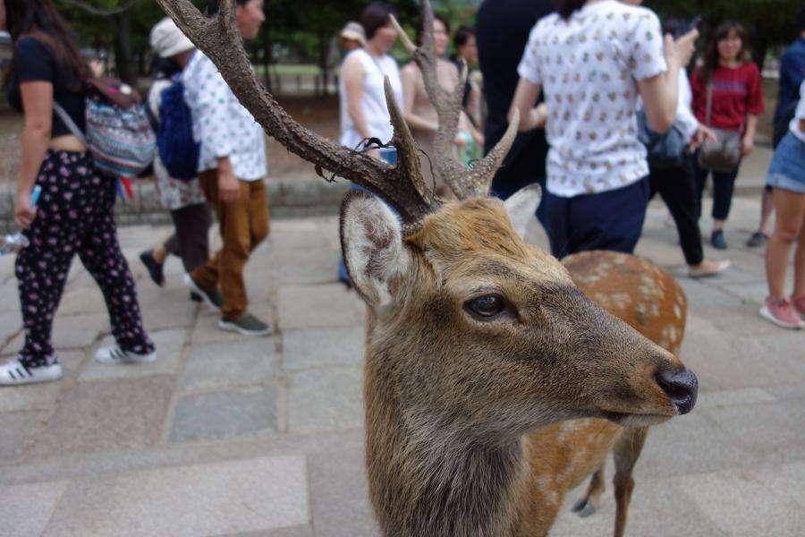 Cervo a Nara davanti al tempio Todai-ji